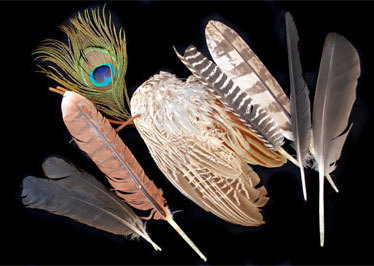 Feathers used for wands.